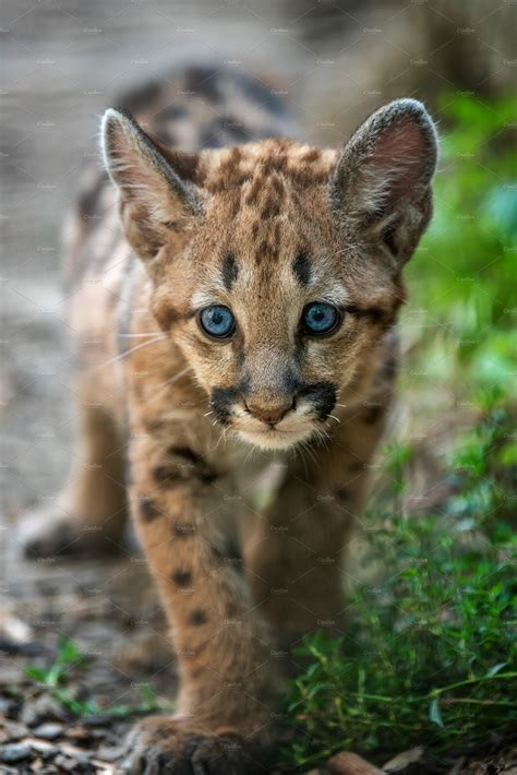 Baby cougar, mountain lion or puma | High-Quality Animal