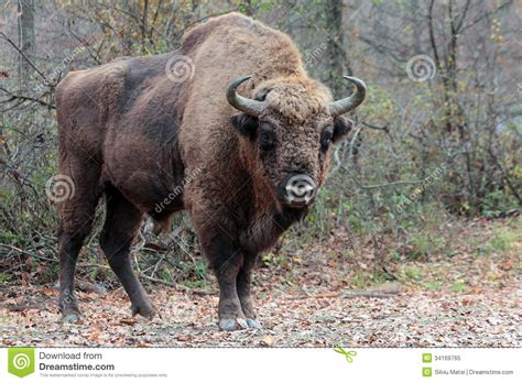 Male European Bison, In The Autumn Forest Stock Image