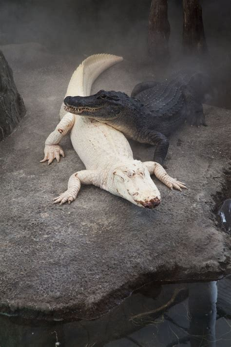 Albino Alligator | Benson and I had been wanting to see