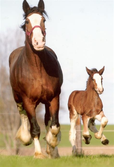 Clydesdale Breeders of the USA Photo Gallery - Clydesdale